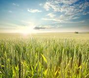 Giacimento di grano fresco nei raggi dell'alba, su fondo del cielo Fotografie Stock