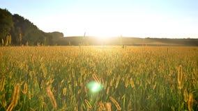 Giacimento di grano giallo di giorno di estate, concetto della natura archivi video