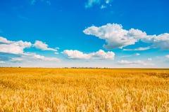 Giacimento di grano, il raccolto fresco di grano Immagini Stock Libere da Diritti