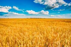 Giacimento di grano, il raccolto fresco di grano Immagini Stock