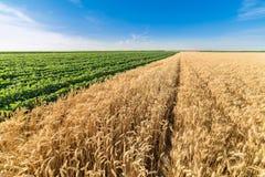 Giacimento di grano maturo di fianco del giacimento della soia verde Immagine Stock