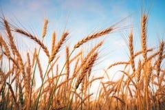Giacimento di grano maturo dorato, giorno soleggiato, paesaggio agricolo fotografia stock