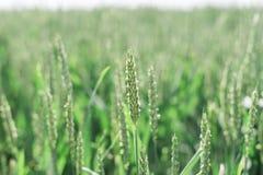 Giacimento di grano nebbioso Immagine Stock Libera da Diritti