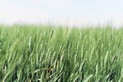 Giacimento di grano nebbioso Fotografie Stock Libere da Diritti