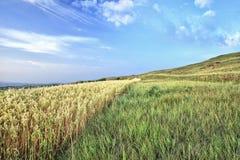 Giacimento di grano nel primo mattino Immagine Stock Libera da Diritti