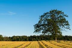 Giacimento di grano nel raccolto della Norvegia Immagine Stock Libera da Diritti