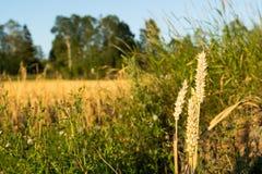 Giacimento di grano nel raccolto della Norvegia Fotografia Stock