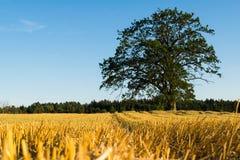 Giacimento di grano nel raccolto della Norvegia Fotografia Stock Libera da Diritti