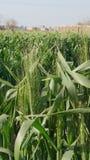 Giacimento di grano nell'Egitto fotografia stock libera da diritti