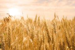 Giacimento di grano nell'incandescenza dorata del sole Fotografia Stock Libera da Diritti