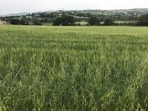 Giacimento di grano nella campagna della Marche fotografia stock libera da diritti