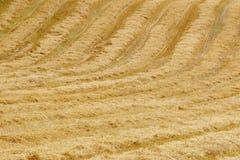 Giacimento di grano nella campagna Tempo di raccolta Backgr di agricoltura Immagini Stock