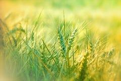 Giacimento di grano nella mattina Fotografie Stock Libere da Diritti