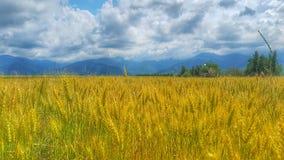 Giacimento di grano nella Transilvania fotografia stock