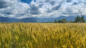 Giacimento di grano nella Transilvania immagini stock