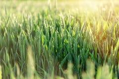 Giacimento di grano non maturo di verde del grano - giacimento di grano verde Immagine Stock