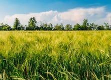 Giacimento di grano non maturo dorato in Lombardia rurale, Italia Fotografia Stock Libera da Diritti