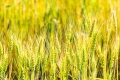 Giacimento di grano non maturo verde nell'estate Fotografia Stock