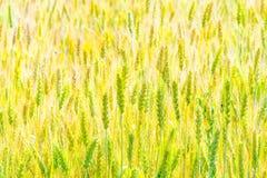 Giacimento di grano non maturo verde nell'estate Immagini Stock Libere da Diritti