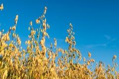 Giacimento di grano in Norvegia Fotografie Stock