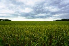 Giacimento di grano, nuvole bianche Fotografia Stock