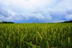 Giacimento di grano, nuvole bianche Immagini Stock Libere da Diritti