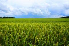 Giacimento di grano, nuvole bianche, cielo blu Fotografia Stock