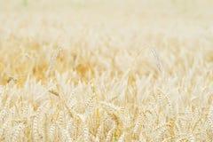 Giacimento di grano, orecchie dei cereali in mezzogiorno caldo di estate, fuoco selettivo Fotografia Stock