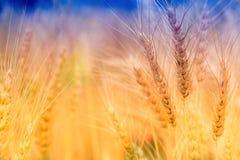 Giacimento di grano per fondo Fotografia Stock Libera da Diritti