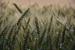 Giacimento di grano per rugiada fotografie stock libere da diritti