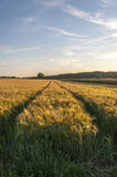 Giacimento di grano prima del paesaggio del raccolto Fotografia Stock