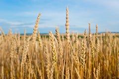 Giacimento di grano prima del raccolto Fotografie Stock