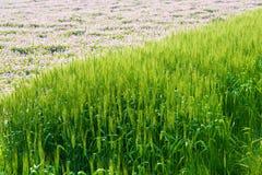 Giacimento di grano prima del raccolto Fotografia Stock