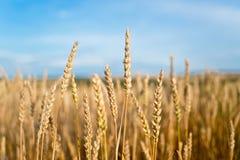 Giacimento di grano prima del raccolto Immagine Stock