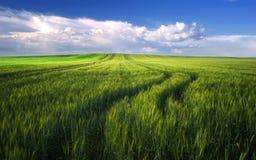 Giacimento di grano prima del tempo nuvoloso di tramonto in primavera, Ungheria Immagine Stock Libera da Diritti