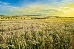 Giacimento di grano prima del tramonto Fotografia Stock