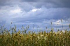 Giacimento di grano prima di pioggia Immagine Stock