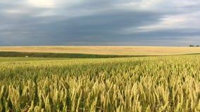 Giacimento di grano prima di pioggia video d archivio