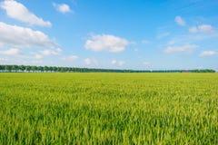 Giacimento di grano in primavera al sole Immagine Stock