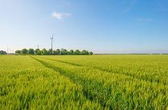 Giacimento di grano in primavera al sole Immagine Stock Libera da Diritti