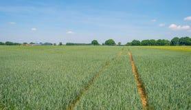 Giacimento di grano in primavera al sole Immagini Stock Libere da Diritti