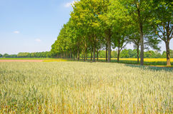Giacimento di grano in primavera al sole Fotografie Stock Libere da Diritti