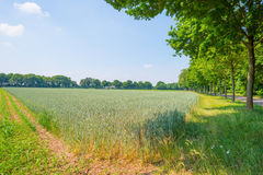 Giacimento di grano in primavera al sole Fotografia Stock