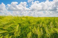 Giacimento di grano in primavera al sole Fotografie Stock