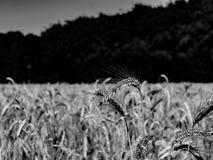 Giacimento di grano pronto a raccogliere in b/w fotografia stock libera da diritti