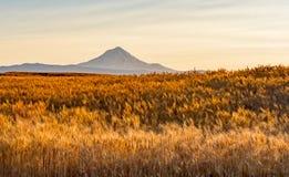 Giacimento di grano pronto a raccogliere nell'Oregon centrale immagine stock