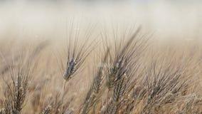 Giacimento di grano in Provenza fotografia stock