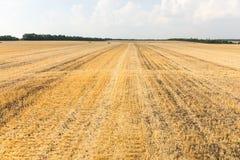 Giacimento di grano raccolto con la stoppia restante della pianta Fotografie Stock Libere da Diritti