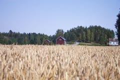 Giacimento di grano rosso della casa Fotografie Stock