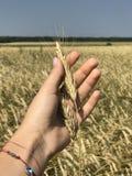 Giacimento di grano in Russia Fotografie Stock Libere da Diritti